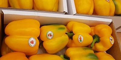 قیمت فلفل دلمه صادراتی