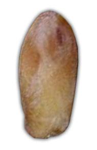 خرمای شاهانی